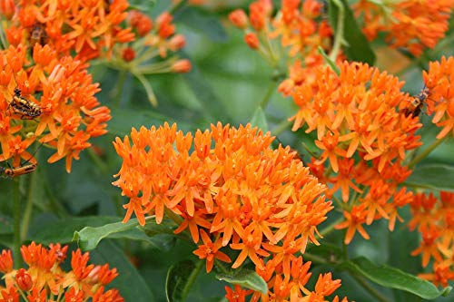 Butterfly Milkweed/Monarch Flower (Asclepias Tuberosa), Pack of 100 Seeds by Seeds2Go