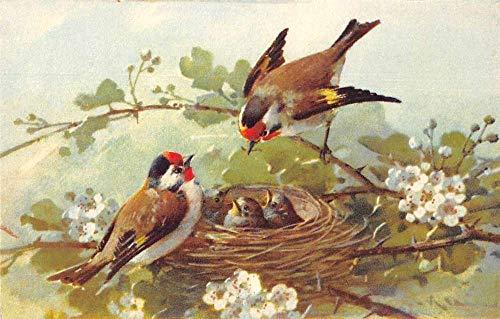Birds Baby Birds in Nest Artist Signed Klein Antique Postcard J80444