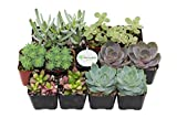 Shop Succulents Premium Pastel Succulent (Collection of 12)