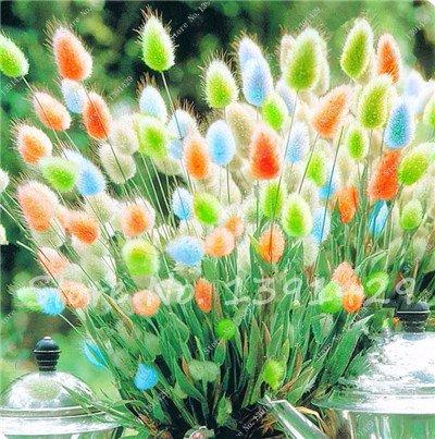 Tail Grass (ChinaMarket 100pcs tropical ornamental plants Grass Seeds,Bunny Tails Grass Lagurus flower seeds)
