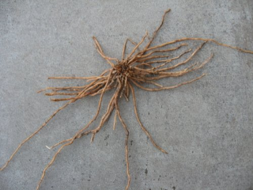 25 2nd Year Mary Washington Variety Asparagus Roots/Plants by JW Farms (Image #1)