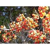 25 Seeds Chinese Bittersweet Seeds - Celastrus Angulatus, Medicinal Plant - Flowering Vine