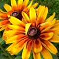 "1,500 Flower Seeds, Daisy ""Gloriosa"" (Rudbeckia Gloriosa) Seeds By Seed Needs"