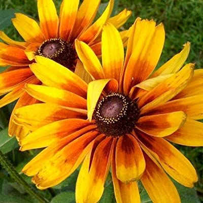 "1,500 Flower Seeds, Daisy ""Gloriosa"" (Rudbeckia Gloriosa) Seeds By Seed Needs"