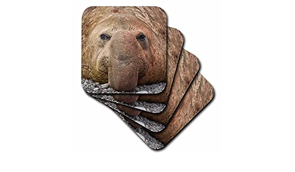 3dRose cst/_74866/_3 South Georgia Island Bull Elephant Seal.-AN01 Bja0026-Janyes Gallery-Ceramic Tile Coasters Set of 4