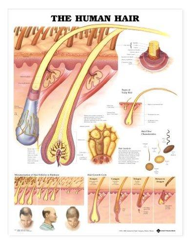 The Human Hair Anatomical Chart