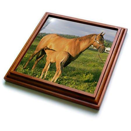 3dRose TDSwhite - Horse Equine Photos - Nursing Foal Field - 8x8 Trivet with 6x6 ceramic tile (trv_285527_1)