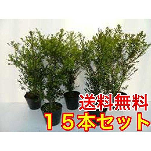 【ノーブランド品】キンメツゲ樹高0.5m前後15cmポット【15本セット】 B06XD9H88L
