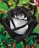20 graines de rose rosier couleur noire et blanche RARE envoi sous 48h