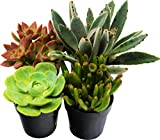 Succulent Variety Pack / All Different Species / 2'' Pots / Live Home and Garden Plants (4)