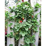 SODIAL(R)100pcs Red Strawberry Climbing strawberry fruits seeds