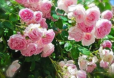 Climbing Rose 300 Seeds Climber Pink Perennials Flower Bulk Seeds