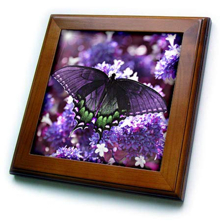 (3dRose Stamp City - Insects - Photograph of a Female Tiger Swallowtail on an abelia Bush in Purple. - 8x8 Framed Tile (ft_306496_1))