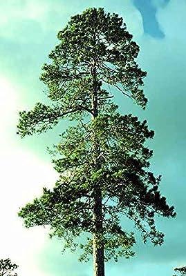 50 Red Pine Tree Seeds, Pinus Resinosa