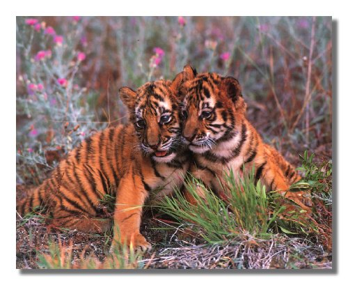 Two Baby Tiger Cubs Cuddling in Wildflowers Photo Wall Picture 8x10 Art Print (Tigers Lithograph)