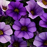 Outsidepride Denim Calibrachoa Flower Seeds - 10 Seeds