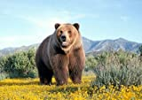 Bear - Brown - in the countryside - animal - wildlife - A3 poster - print - picture by Salopian Sales