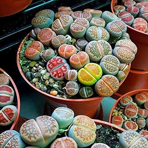 Perennial Succulent Stone Flower Seeds for Home