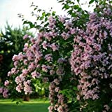 Cutdek Beauty Bush Seeds (Kolkwitzia amabilis) 50+Seeds
