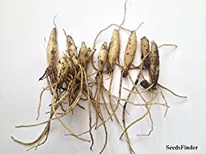 Wild ajo (Allium Ursinum) * * 10bombillas nuevo.