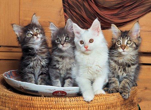 Maine Coon Cat Kitten (Tomax Maine Coon Cats 500 Piece Jigsaw)