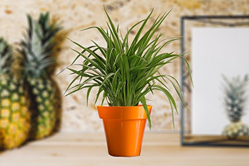 Rolling Nature Air Purifying Spider Plant in Small Orange...