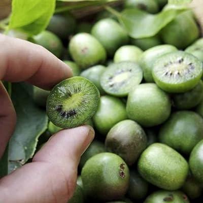 Actinidia arguta Hardy kiwi Mini Cocktail Kiwi Vine 50+ seeds : Garden & Outdoor