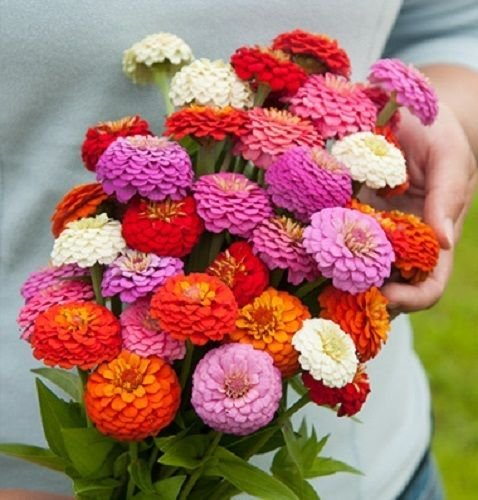 50+ ZINNIA OKLAHOMA MIX FLOWER SEED MIX / LONG LASTING ANNUAL/ DEER RESISTANT