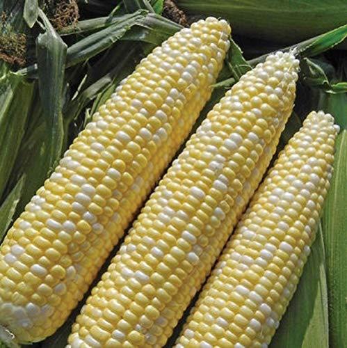 Hybrid Corn - David's Garden Seeds Corn Synergistic Allure SL4839 (Yellow) 100 Non-GMO, Hybrid, Organic Seeds