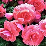 "Giant Ruffled Amerihybrid Tuberous Begonia Salmon (3 Big Bulbs) 8"" Blooms Like Carnations | Ships from Easy to Grow TM"