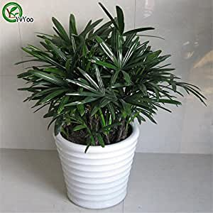 Office desks plant Palm Bamboo Seeds Bonsai Tree Seeds Very Beautiful Indoor Tree Home Garden plant 30 particles / bag t024