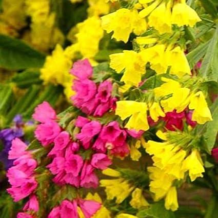 Amazon statice yellow dry flower sea lavender limonium statice yellow dry flower sea lavender limonium sinuatum 130 seeds mightylinksfo