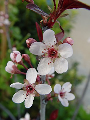 Prunus cistena (Purpleleaf Sandcherry) Shrub, #3 - Size Container by Green Promise Farms (Image #1)