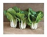 David's Garden Seeds Pac Choi Win-Win SL2698 (Green) 100 Non-GMO, Hybrid Seeds