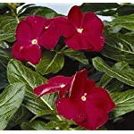 40+ Vinca Dark Red Periwinkle Flower Seeds / Annual