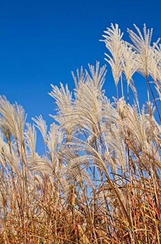Silbergras 250-5000 Samen Chinaschilf Miscanthus sinensis Riesen Chinagras