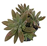 "Darley Sunshine Succulent Plant - Carnicolor Sedum adolphii - 4.5"" Pot"