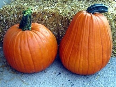 Phat Jack Pumpkin 10 Seeds
