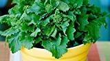 Broccoli Rapini (2100 Seeds) Winter Window Raab Rabe Greens!