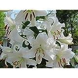 SANHOC Seeds Package: GARTHWAITE Nurseries: - 6 Casa Blanca Lily Seeds -Shaped Highly FragrantSEED