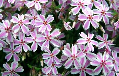 Classy Groundcovers - Phlox subulata 'Candy Stripe' (Phlox 'Candy Stripe', Creeping Phlox, Moss Phlox) {24 Pots - 3 1/2 in.}