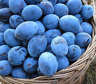 Italian Plum Tree 5 Seeds UPC 648620997791 Self Pollinating