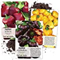Seed Needs Miniature Bell Pepper Seed Collection (3 Individual Seed Packets) Non-GMO/Untreated