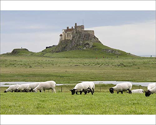 Media Storehouse 10x8 Print of Lindisfarne Castle, Built 1550, and grazing Black-Faced Sheep (19082711)