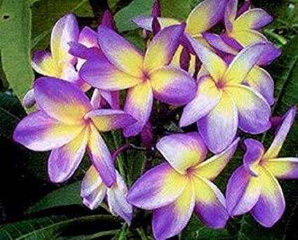20 PCS Seeds Plumeria Bonsai Hawaii Flowers Tree Perennial Garden Plants Rare M