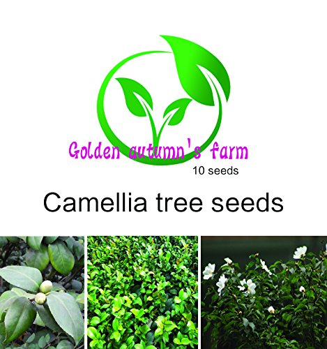 golden-autumn-farm-10-camellia-sinensis-tea-tree-rare-tropical-plant-tree-seeds