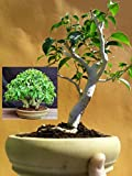 Ficus Wiandi Bonsai - Natural bonsai - 5 years plant