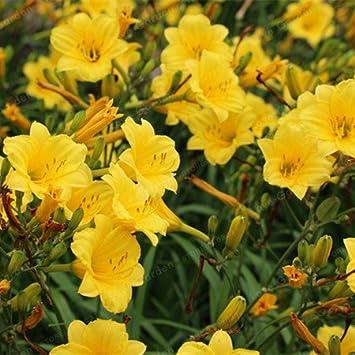 2 Zwiebeln Amaryllis Zwiebeln Echte Hippeastrum Zwiebeln Blumen