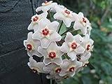 Hoya carnosa: Wax plant