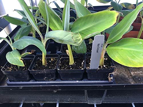 Ice Cream Banana Plant - Live Banana Tree''Ice Cream'' Rare Banana Plant by Natures Garden Nursery (Image #4)